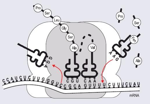 Translacja (wg Zadania maturalne z biologii, WSiP, 1999)