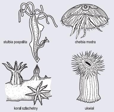 Przedstawiciele parzydełkowców