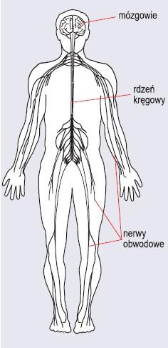 Schemat budowy układu nerwowego człowieka