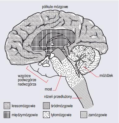Schemat mózgowia człowieka