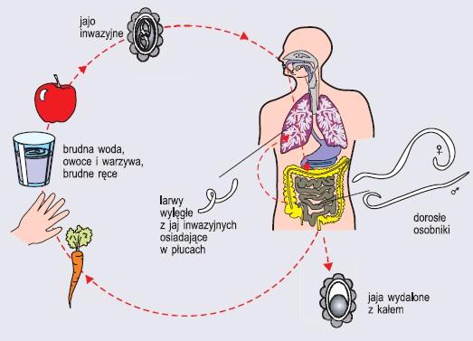 Cykl rozwojowy glisty ludzkiej
