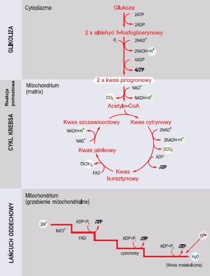 Główne etapy oddychania tlenowego (wg Wiśniewski, 1994, zmienione)