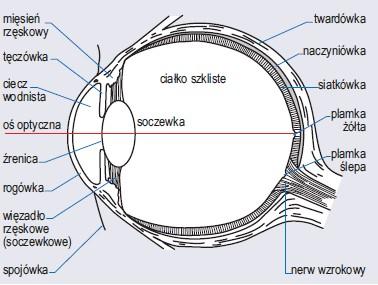 Schemat budowy oka (wg Delaney, 1976)