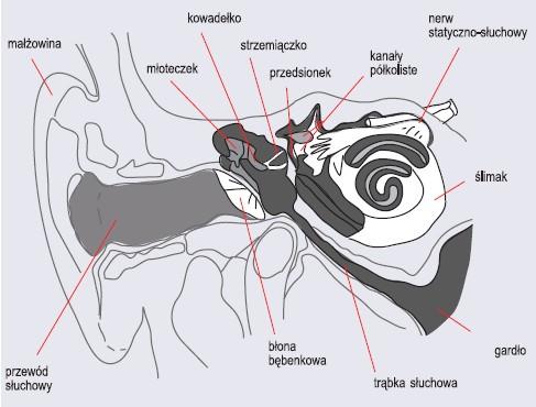 Schemat budowy ucha