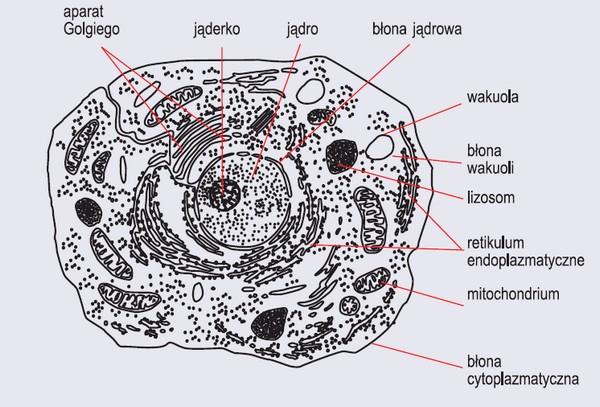 Komórka zwierzęca (wg Podbielkowski, 1976)