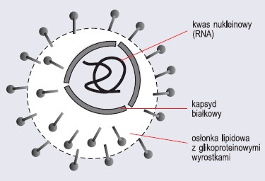 Budowa wirusa grypy