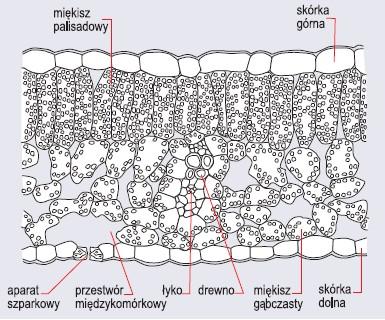 Przekrój poprzeczny przez blaszkę liściową rośliny dwuliściennej (wg Szweykowscy, 2002)