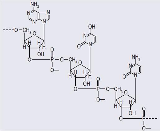 Fragment łańcucha polinukleotydowego RNA