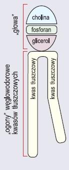Cząsteczka fosfolipidu