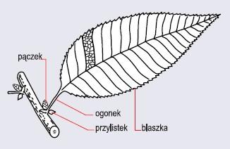 Budowa typowego liścia (wg Podbielkowski i in., 1987)