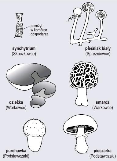 Niektórzy przedstawiciele grzybów (wg Lewiński, 2004, zmienione)