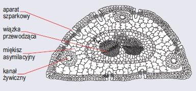 Przekrój poprzeczny przez liść iglasty sosny (wg Szweykowscy, 2002)