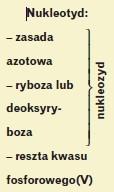 nukleotyd