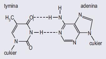 Wiązania wodorowe między parami komplementarnych zasad azotowych