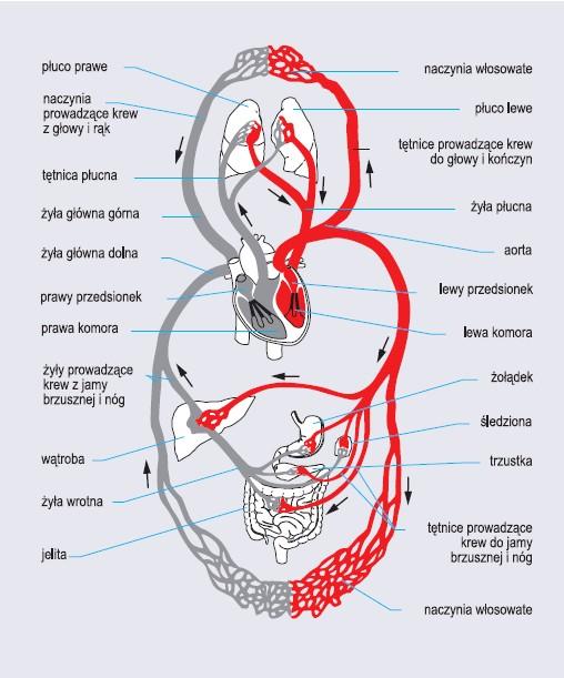 Schemat krążenia krwi człowieka (wg Encyklopedii PWN)