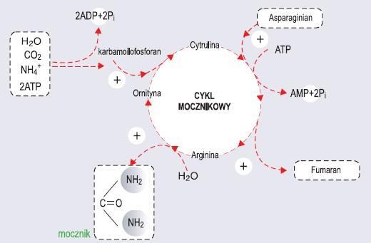 Cykl mocznikowy