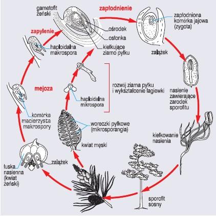 Cykl rozwojowy sosny zwyczajnej (wg Villee, 1976)