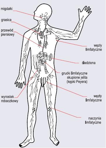 Narządy i naczynia limfatyczne człowieka (wg Gołąb, Jakóbisiak, Lasek, 2002)
