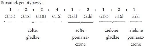 Stosunek genotypowy: