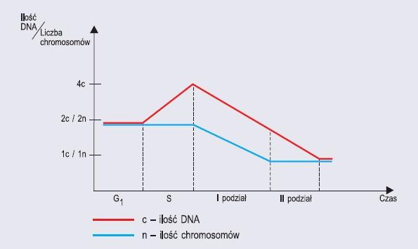 Zmiany ilości materiału genetycznego w dzielącej się mejotycznie komórce diploidalnej