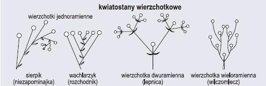Rodzaje kwiatostanów (wg Szweykowscy, 2002, zmienione)