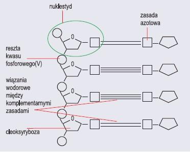 Fragment łańcucha DNA