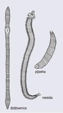 Przedstawiciele pierścienic (wg Hempel- -Zawitkowska, 1976)