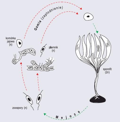 Przemiana heteromorficzna z przewagą sporofitu na przykładzie listownicy (wg Szweykowscy, 2002, zmienione)