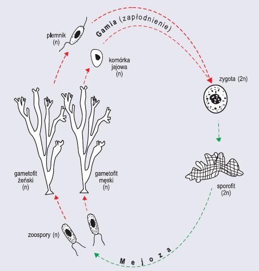 Przemiana izomorficzna z przewagą gametofitu na przykładzie katlerii (wg Szweykowscy, 2002, zmienione)