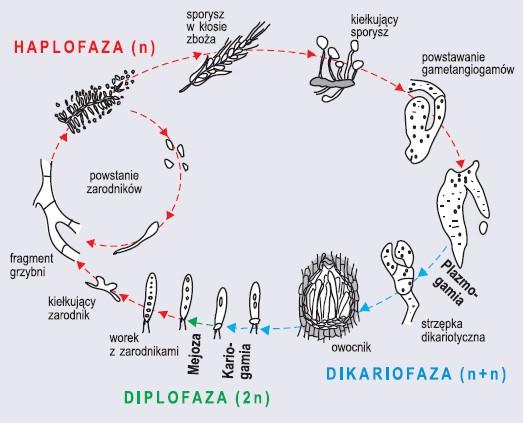 Cykl rozwojowy workowców na przykładzie buławinki czerwonej (wg Szweykowscy, 2002, zmienione)
