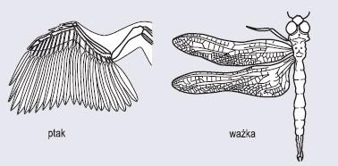 Narządy analogiczne – skrzydło ptaka oraz skrzydło ważki