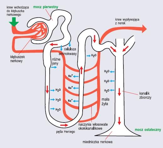 Schemat budowy i funkcji nefronu człowieka