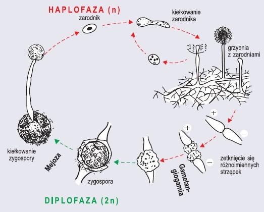 Cykl rozwojowy sprzężniowców na przykładzie pleśniaka białego (wg Szweykowscy, 2002, zmienione)