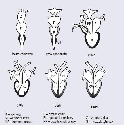 Porównanie budowy serca kręgowców (wg Wiśniewski, 1977)