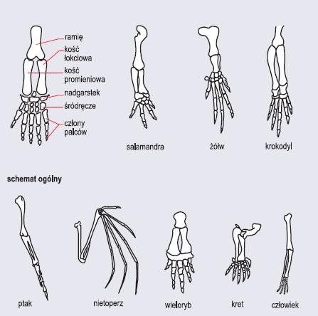 Narządy homologiczne – szkielety kończyny przedniej kręgowców
